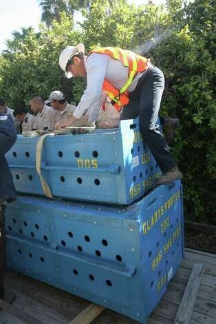 Gladys Porter Zoo animal staff prepare to lift a large wooden crate carrying the male and female  Orinoco crocodiles  into the open exhibit area Wednesday, Oct. 19, 2011. The crocodiles were lifted by a crane inside a large wooden box and lowered into the area by zoo staff. Photo: Delcia Lopez/Special To The Express-News / Delcia Lopez Photography