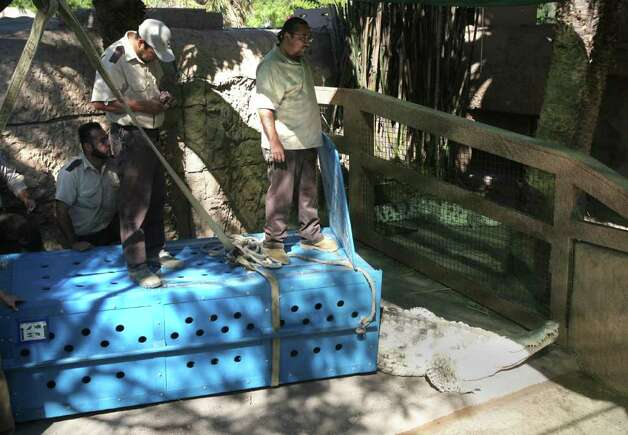 Gladys Porter Zoo animal staff release a pair of Orinoco crocodiles into the open exhibit area Wednesday Oct. 19, 2011. The crocodiles were lifted by a crane inside a large wooden box and lowered into the area by zoo staff. Photo: Delcia Lopez/Special To The Express-News / Delcia Lopez Photography