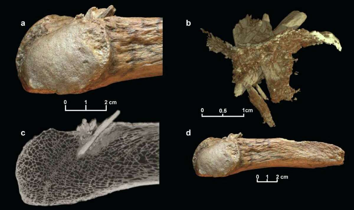 This image released October 20, 2011, courtesy of the University of Copenhagen shows a mastodon rib with the embedded bone projectile point. (A) Closeup view. (B) Reconstruction showing the bone point with the broken tip. The thin layer represents the exterior of the rib. (C) CT X-ray showing the long shaft of the point from the exterior to the interior of the rib. (D) The entire rib fragment with the embedded bone projectile point.