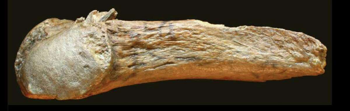 Photo of the rib with the bone point embedded in it.