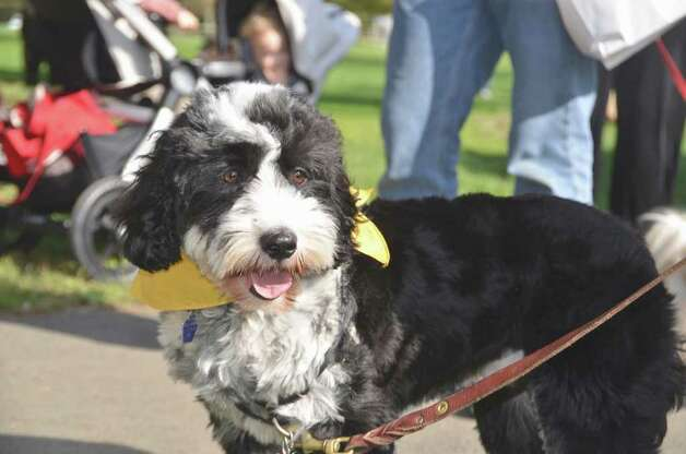 "This little cutie, Pandu, Judy Stephan's Tibetan Terrier, was one of many dogs that attended the ""Walk for the Run and Fun Dog Show"" at Spencer's Run, Sunday, October 16, 2011. Photo: Jeanna Petersen Shepard"
