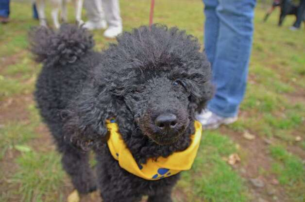This is Devin, Amanda Birnbaum's Miniature Poodle! Photo: Jeanna Petersen Shepard