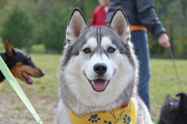 Prettiest Dog contender, Kaylan, a Siberian Husky owned by Wendy Cassell, gives her best pose. Photo: Jeanna Petersen Shepard