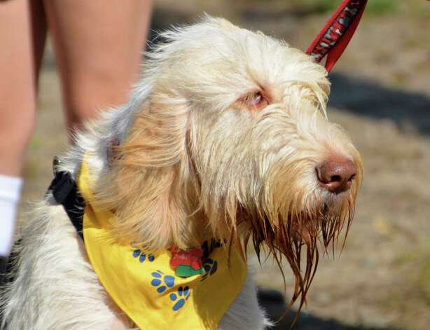 Luigi, a Spinone Italiano, is next up for Scruffiest Dog, at the 2nd Annual Walk for the Run and Fun Dog Show at Waveny Sunday, October 16, 2011. Photo: Jeanna Petersen Shepard