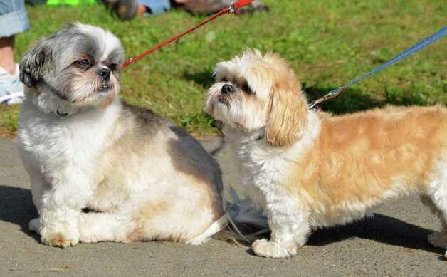 Friend Shihtzus - Winnie and Freddie! Photo: Jeanna Petersen Shepard