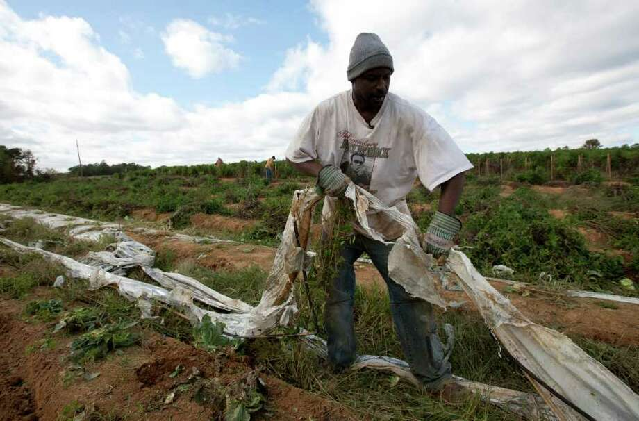 Titus Howard of Birmingham, Ala., pulls plastic from fields in Steele, Ala., on Thursday. Howard took on the job after migrant workers fled the area because of the new Alabama immigration law. Photo: Dave Martin, Associated Press / AP