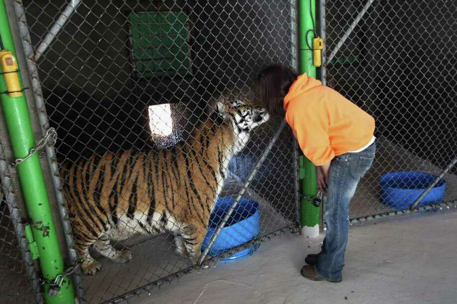 Animal caretaker Tawny Richey greets a tiger at The Wild Animal Sanctuary on October 20, 2011 in Keenesburg, Colorado. The non-profit sanctuary is a 720-acre refuge for large carnivores that have been confiscated from illegal or abusive situations and is currently home to over 290 lions, tigers, bears, wolves and other large carnivores. It is the oldest and largest carnivore sanctuary in the United States, having been in operation since 1980. On Tuesday the owner of a Zanesville, Ohio private animal reserve set loose 56 animals, of which 49 were hunted down and killed by law enforcement and six others were tranquilized and are being treated at the Columbus Zoo. Photo: John Moore, Getty / 2011 Getty Images