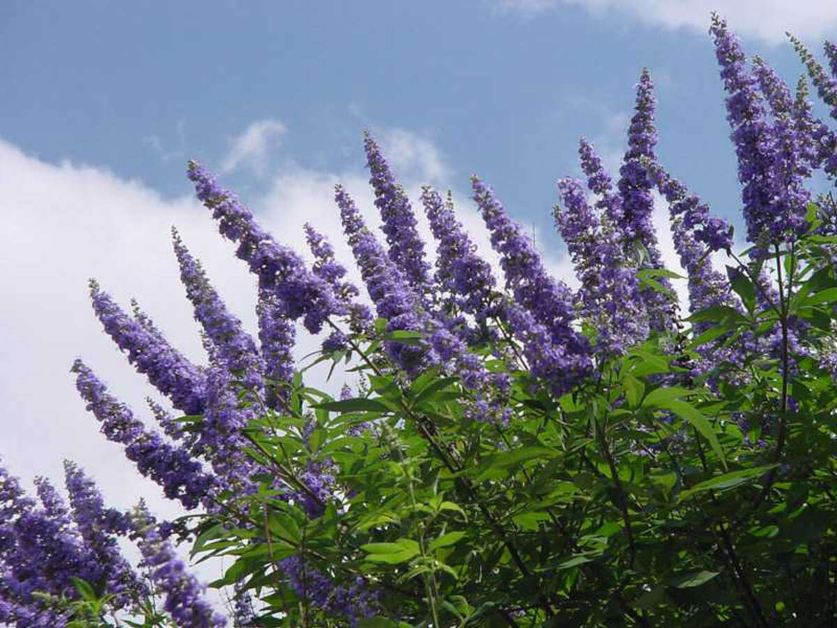 Remove 'Texas Lilac' vitex flowers when they're spent to encourage another round of blooms.