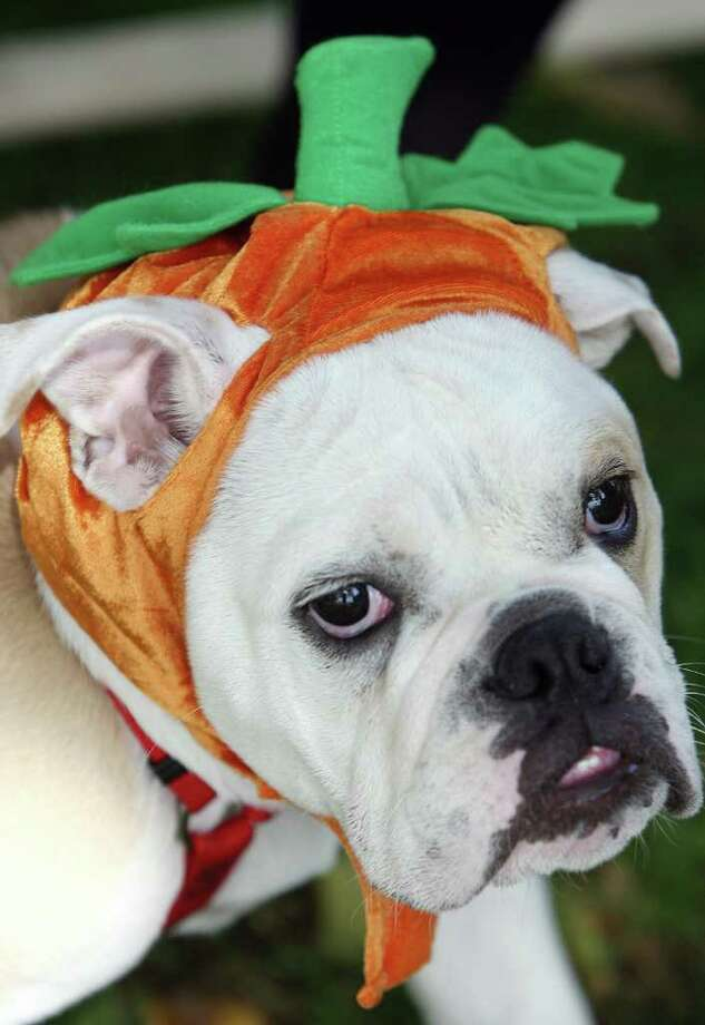A dog named Bob wears a pumpkin outfit during a doggy costume contest in West Hollywood, California, 28 October 2007. AFP PHOTO GABRIEL BOUYS Photo: GABRIEL BOUYS, AFP/Getty Images / 2007 AFP