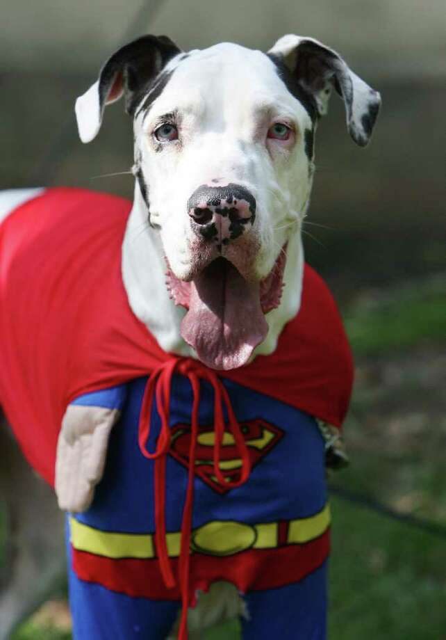 Menphis is dressed like a Superman, during a doggy costume contest in West Hollywood, California, 28 October 2007. AFP PHOTO GABRIEL BOUYS Photo: GABRIEL BOUYS, AFP/Getty Images / 2007 AFP