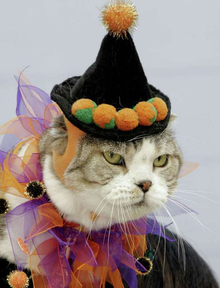 A cats wearing a costume looks on during an annual contest for Holloween, in Kawasaki,  Kanagawa prefecture, 21 October 2007. Some 30 owners showed off their dogs wearing and cats wearing fancy costumes.   AFP PHOTO / Yoshikazu TSUNO Photo: YOSHIKAZU TSUNO, AFP/Getty Images / 2007 AFP