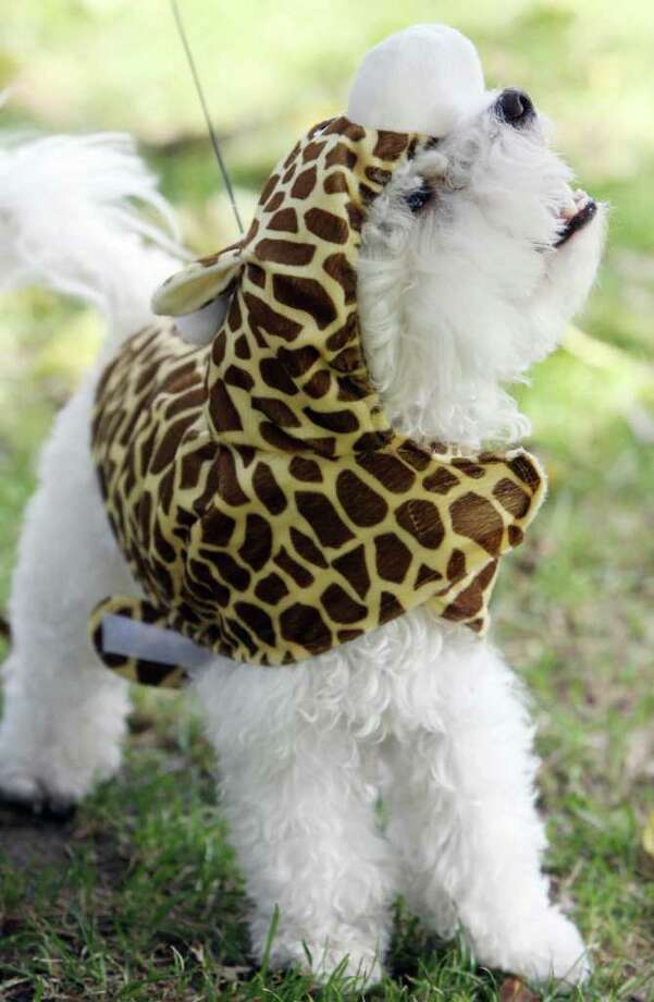 A dog named Annabelle is costumed as a giraffe, during a doggy costume contest in West Hollywood, California, 28 October 2007. AFP PHOTO GABRIEL BOUYS Photo: GABRIEL BOUYS, AFP/Getty Images / 2007 AFP