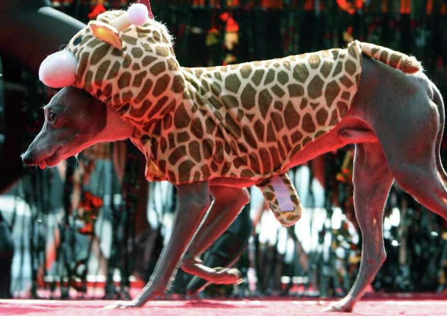 Giovanni is dressed like a giraffe, during a doggy costume contest in West Hollywood, California, 28 October 2007. AFP PHOTO GABRIEL BOUYS Photo: GABRIEL BOUYS, AFP/Getty Images / 2007 AFP