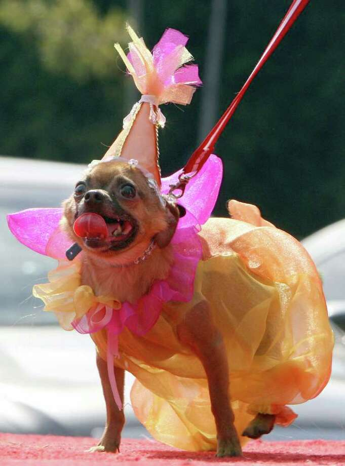 Yoyo is dressed like a fairy, during a doggy costume contest in West Hollywood, California, 28 October 2007. AFP PHOTO GABRIEL BOUYS Photo: GABRIEL BOUYS, AFP/Getty Images / 2007 AFP
