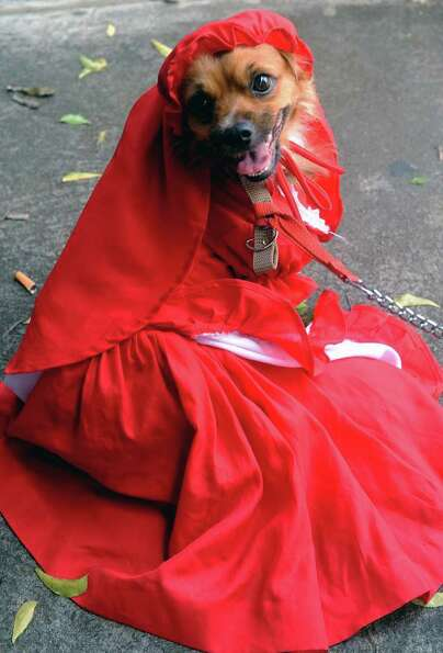 A dog dressed as ''Little Red Riding Hood'' participates in a dog parade in Managua, on October 4, 2