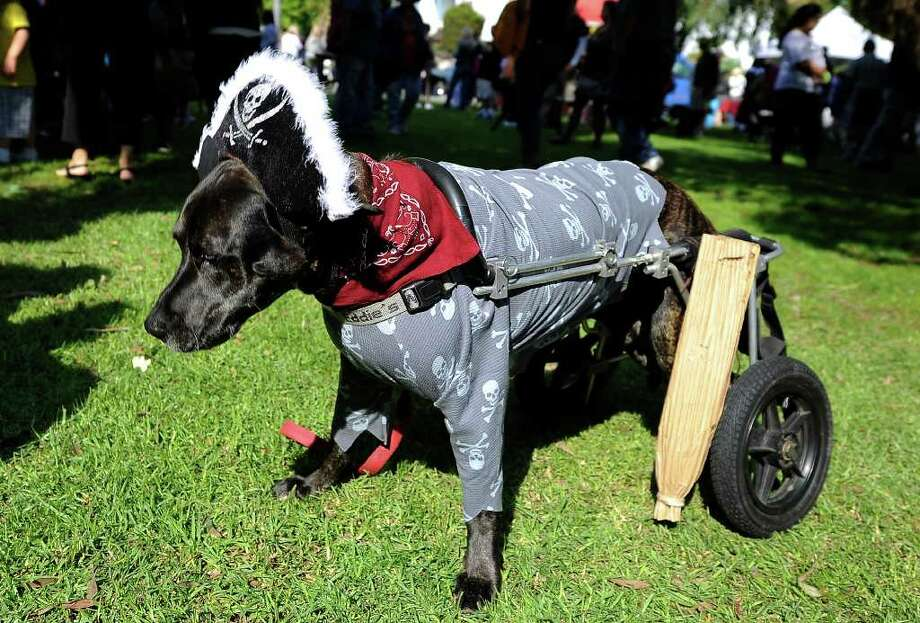 Leo, a parapalegic Boxer-Labrador mix, is dressed as a pirate with a peg leg at the Halloween Dog Costume Parade in Long Beach, California on October 31, 2010.   AFP PHOTO / Robyn Beck Photo: ROBYN BECK, AFP/Getty Images / 2010 AFP