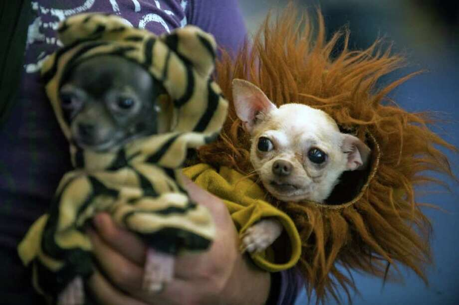 Two Chihuahuas wait for their turn in a competition during the ExpoCan show, in Mexico City, on September 17, 2011. AFP PHOTO/Alfredo Estrella Photo: ALFREDO ESTRELLA, AFP/Getty Images / 2011 AFP