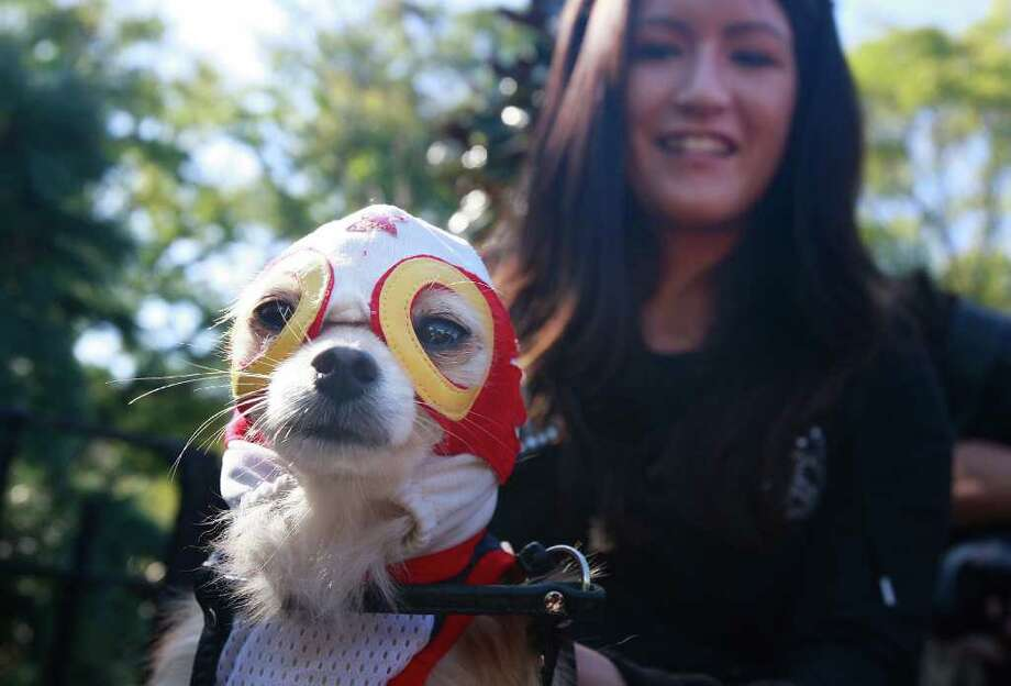 NEW YORK - OCTOBER 26:  Dog Chico is dressed as a Mexican wrestler during the 18th annual Tompkins Square Halloween Dog Parade October 26, 2008 in New York City. The event is the largest dog Halloween party in the United States with an annual attendance of over 400 costumed dogs. Photo: Mario Tama, Getty Images / 2008 Getty Images