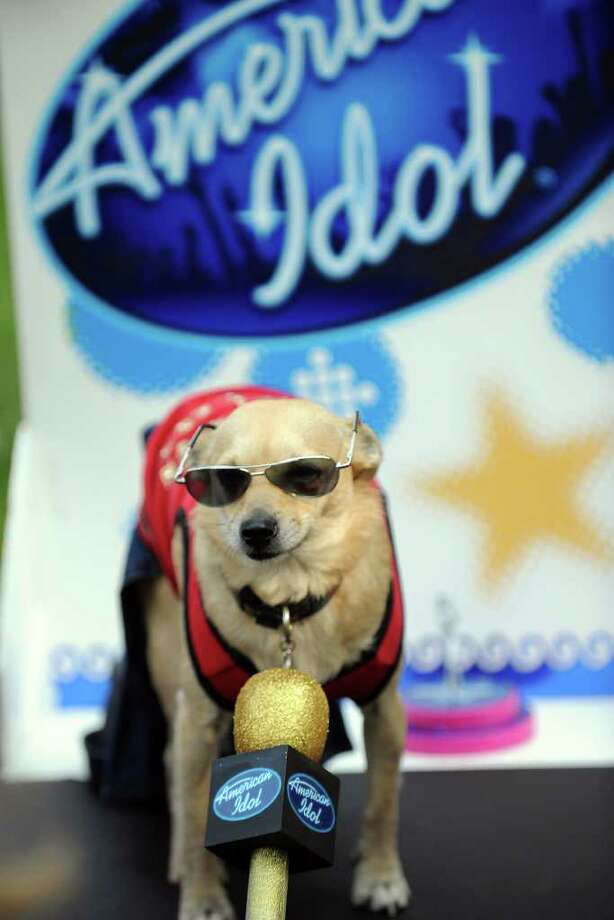 George, a singing Chihuahua mix, is dressed as an American Idol contestant at the Halloween Dog Costume Parade in Long Beach, California on October 31, 2010.    AFP PHOTO / Robyn Beck Photo: ROBYN BECK, AFP/Getty Images / 2010 AFP