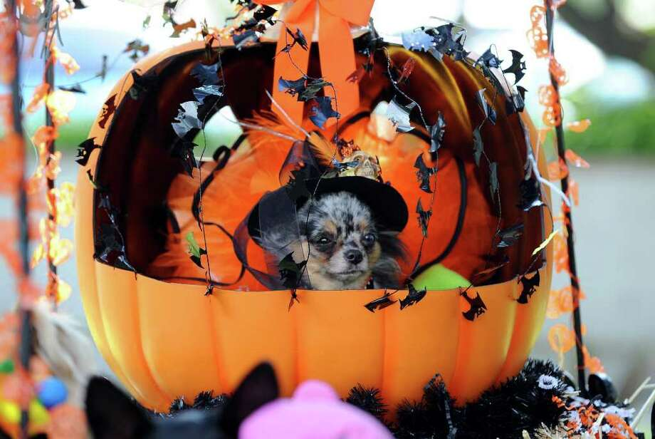 Mei Mei, a long-haired teacup Chihuahua rides in a plastic pumpkin at the Halloween Dog Costume Parade in Long Beach, California on October 31, 2010.   AFP PHOTO / Robyn Beck Photo: ROBYN BECK, AFP/Getty Images / 2010 AFP