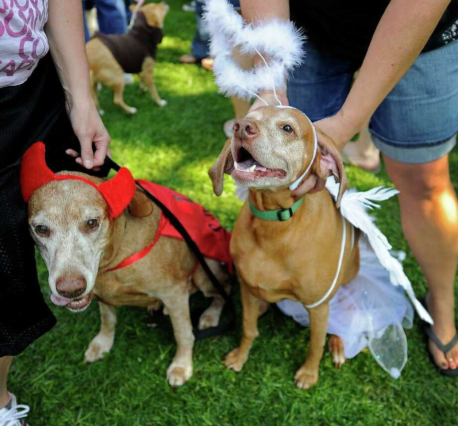 Gunner (L) and Sassy, both Vizsla Hungarian Hunting Dogs, are dressed as the devil and an angel at the Halloween Dog Costume Parade in Long Beach, California on October 31, 2010.   AFP PHOTO / Robyn Beck Photo: ROBYN BECK, AFP/Getty Images / 2010 AFP