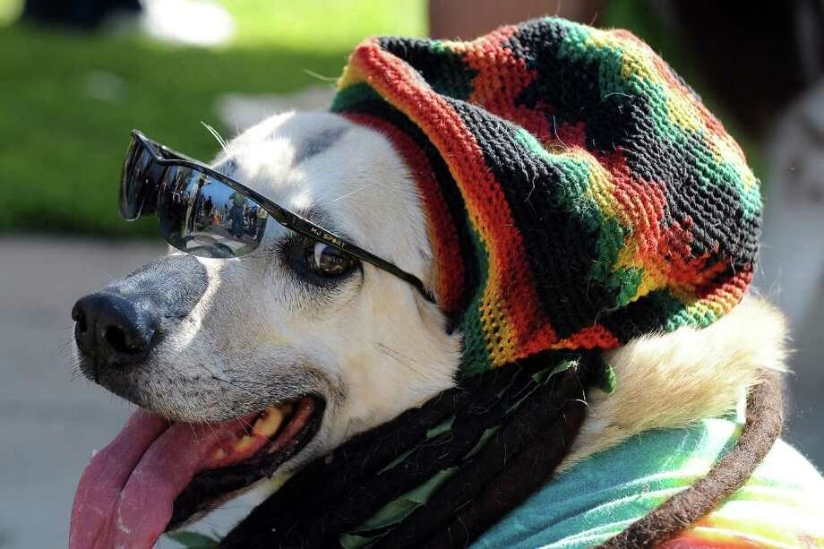 A dog dressed in a reggae costume attends the Halloween Dog Costume Parade in Long Beach, California on October 31, 2010.   AFP PHOTO / Robyn Beck Photo: ROBYN BECK, AFP/Getty Images / 2010 AFP