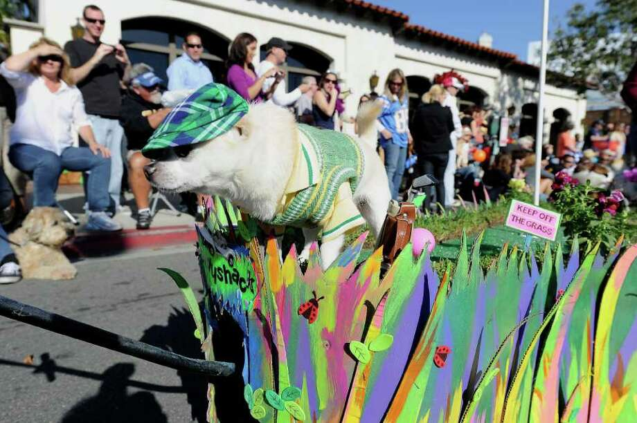 "A dog in a ""Caddyshack"" costume attends the Halloween Dog Costume Parade in Long Beach, California on October 31, 2010.   AFP PHOTO / Robyn Beck Photo: ROBYN BECK, AFP/Getty Images / 2010 AFP"