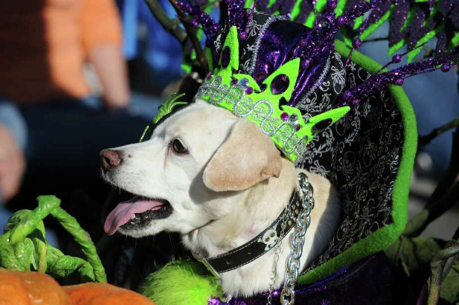 A dog in a green crown marches in the Halloween Dog Costume Parade in Long Beach, California on October 31, 2010.   AFP PHOTO / Robyn Beck Photo: ROBYN BECK, AFP/Getty Images / 2010 AFP
