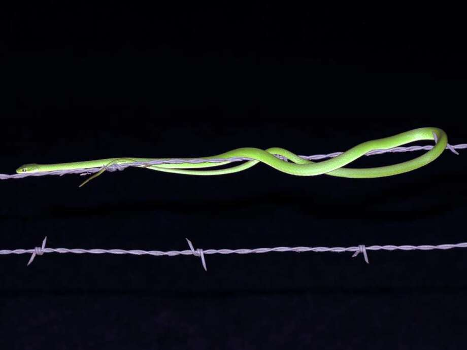 This rough green snake appeared on the Mims place after a 2-inch rain.