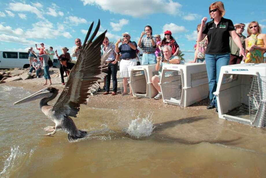 A brown pelican opens its wings as it gets ready to fly into the wild upon it's release at the Seabrook Water District on Saturday, Oct. 22, 2011, in Seabrook.  The Wildlife Center of Texas released 10 brown pelicans, four of which were impacted by Tropical Storm Lee. The four were brought to the Wildlife Center from Mississippi on September 19, 2011.  The Wildlife Center of Texas is the only Houston trauma hospital that accepts all injured, ill, and orphaned wildlife. Photo: Mayra Beltran, Houston Chronicle / © 2011 Houston Chronicle