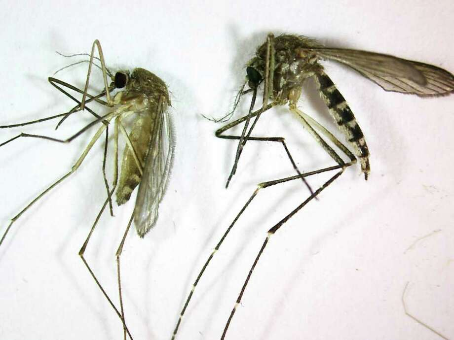 Floodwater mosquitoes, right, are swarming the city now. Unlike the Culex pipiens, left, they generally don't carry West Nile virus, so Harris County doesn't spray for them. Photo: Anonymous / AP2008