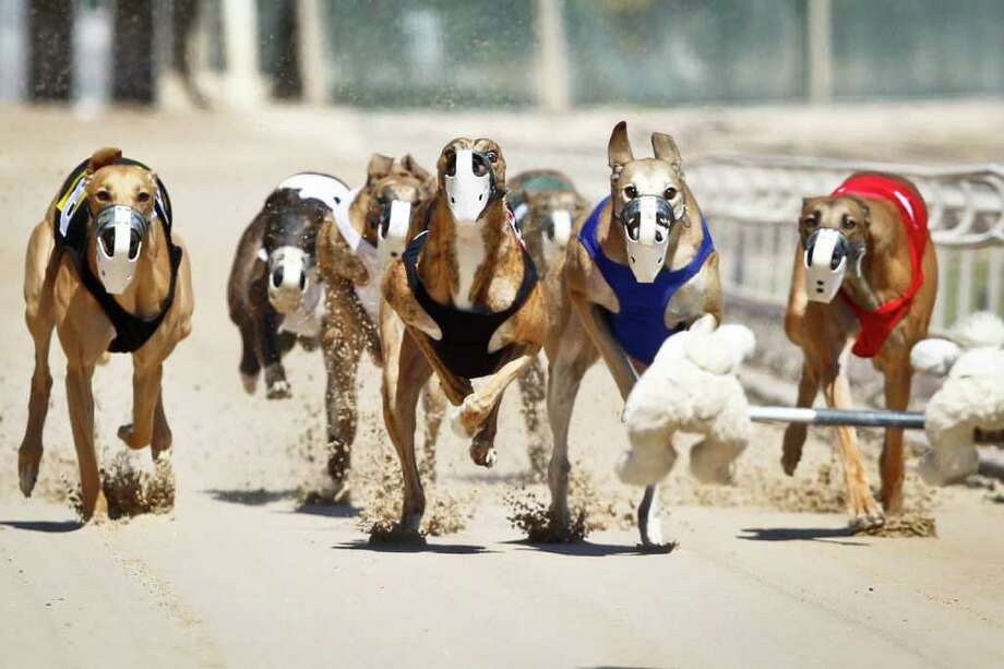 A heat of Greyhound racing dogs run during the Wednesday Matinee at Gulf Greyhound Park, Wednesday, Oct. 19, 2011, in La Marque. Photo: Michael Paulsen, Houston Chronicle / © 2011 Houston Chronicle