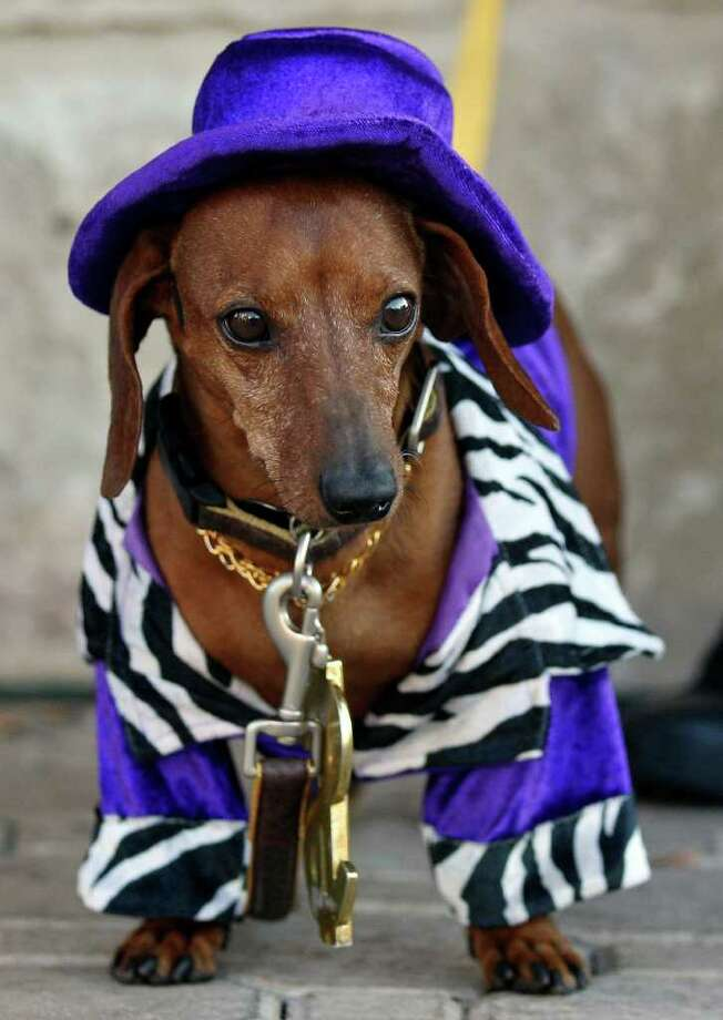 """""""Scooby Doo"""", a six-year-old Dachshund dressed as a gigolo, takes in the sights while attending the San Antonio Humane Society's annual Paws on the Patio event Monday Oct. 24, 2011 at Canyon Cafe in the Alamo Quarry Market.  Activities included doggie and people meals provided by Canyon Cafe, a photo costume contest on Howl-o-Ween themed sets, and music. All photo contest and doggie dinner proceeds go towards the care and shelter of animals at the San Antonio Humane Society. Photo: EDWARD A. ORNELAS, Edward A. Ornelas/eaornelas@express-news.net / © SAN ANTONIO EXPRESS-NEWS (NFS)"""