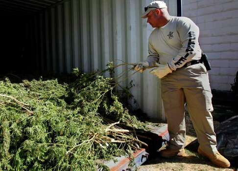 Liberty County Sheriff's Office Captain Rex Evans looks at a marijuana plant outside of the Liberty County Sheriff's Office Wednesday, Oct. 19, 2011, in Liberty.  Officials confiscated 2-3 tons of marijuana estimated at 4-6 million dollars in street value. Suspects have been identified but no names have been released in the ongoing investigation. (Cody Duty / Houston Chronicle) Photo: Cody Duty, Staff / © 2011 Houston Chronicle
