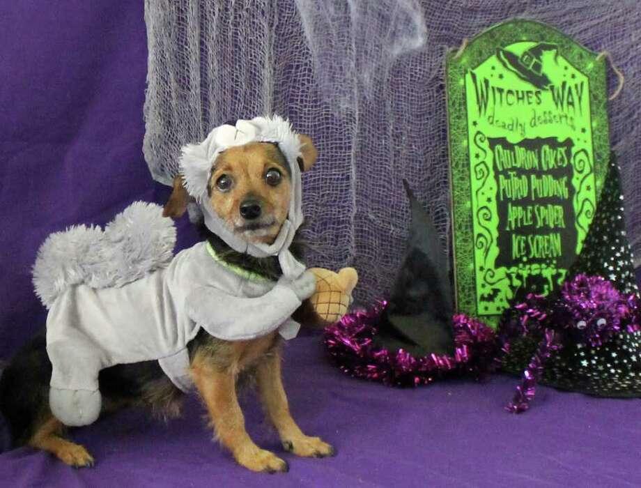 Macey is a fun-loving Chihuahua mix. Photo: HUMANE SOCIETY OF SAN ANTONIO