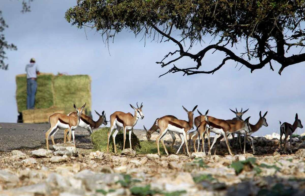 Springbok gather after workers drop food at Natural Bridge Wildlife Ranch west of New Braunfels during feeding time for the animals on Wednesday, Oct. 26, 2011.