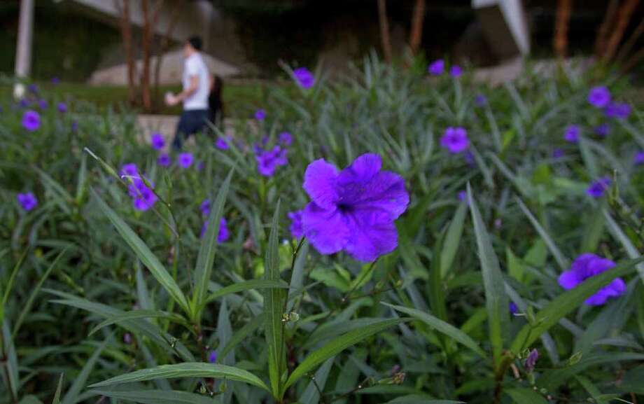 "Ruellia brittoniana, or ""the Mexican petunia growing along the Buffalo Bayou Promenade Tuesday, Oct. 18, 2011, in Houston. ( James Nielsen / Chronicle ) Photo: James Nielsen / © 2011 Houston Chronicle"