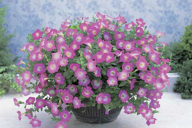 ALL AMERICA SELECTIONS COOL-WEATHER SURVIVORS: Plant petunias in beds and containers for blooms through the cooler months.