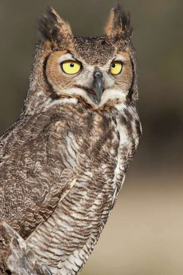 "KATHY ADAMS CLARK COMMUNICATION: The ""who's-awake-me-too"" call of a great horned owl at this time of year is just a male announcing his breeding territory. Photo: Kathy Adams Clark / Kathy Adams Clark/KAC Productions"