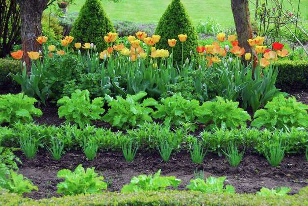 Color your greens: Plant pre-chilled tulips among your veggies. Photo: Www.bulb.com / This image is provided free-of-charge and copyright-free by the Netherlands Flower Bulb Information Center.  Credit would be app