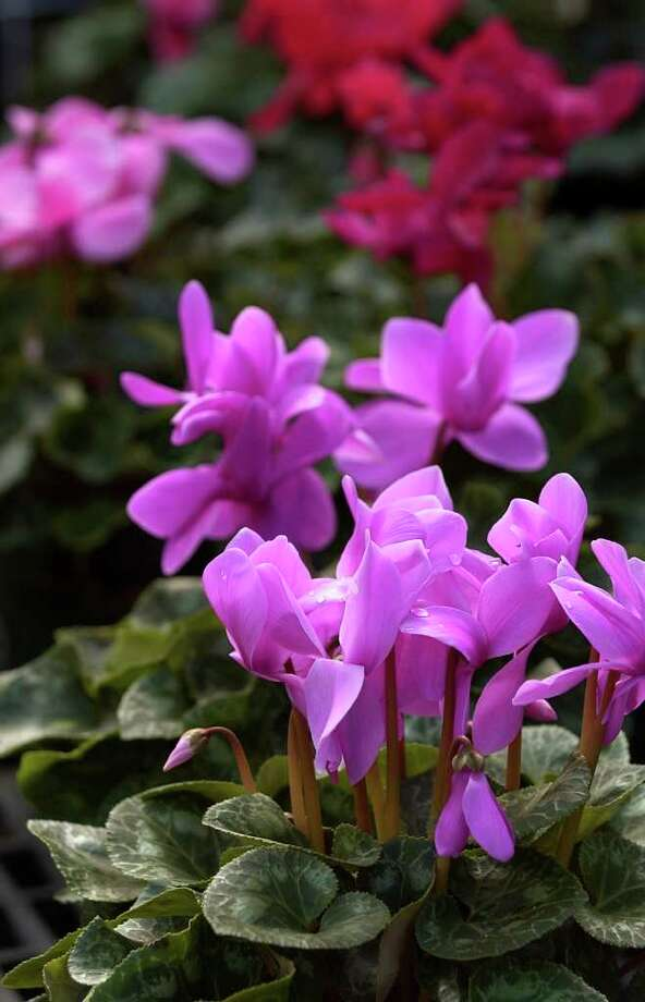 FILE PHOTO FLOWER BEDS: Cyclamen offers brilliant color during winter months. Photo: BOB OWEN, STAFF / SAN ANTONIO EXPRESS-NEWS