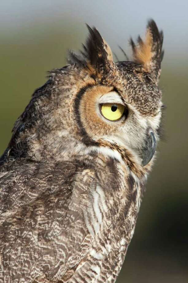 Great horned owls have keen hearing. Their facial disk enables them to detect the faint sounds made by a snake or mouse.  Photo Credit:  Kathy Adams Clark.  Restricted use. Photo: Kathy Adams Clark / Kathy Adams Clark/KAC Productions