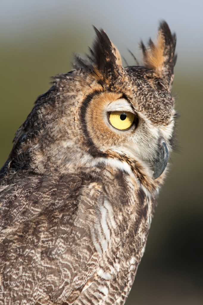 Great Horned Owls May Be Hooting On Halloween San