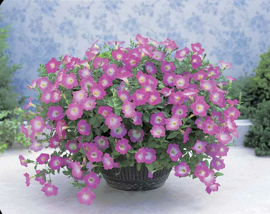 ALL AMERICA SELECTIONS COOL-WEATHER SURVIVORS: Plant petunias in beds and containers for blooms through the cooler months. / handout cd