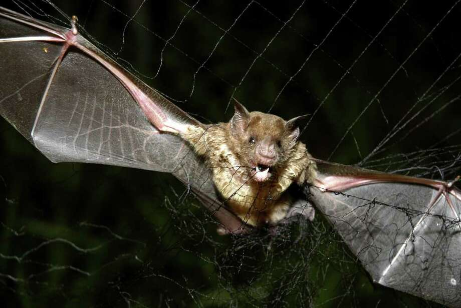**ADDING HOW MANY PEOPLE HAVE DIED FROM VAMPIRE BATS**  A vampire bat is caught in a net in Aracy, in the northeast Amazon state of Para, Brazil, on Thursday, Dec. 1, 2005. The bat is being studied for research by assistants at  the Goeldi Museum Research Institute of Belem. Continued deforestation of the Amazon region has sent thousands of displaced vampire bats carrying rabies sweeping across northern Brazil, where the flying mammals have bitten over a thousand people, and left 23 dead over the past two months,  authorities said.  (AP Photo/Mario Quadros) Photo: MARIO QUADROS, STR / AP
