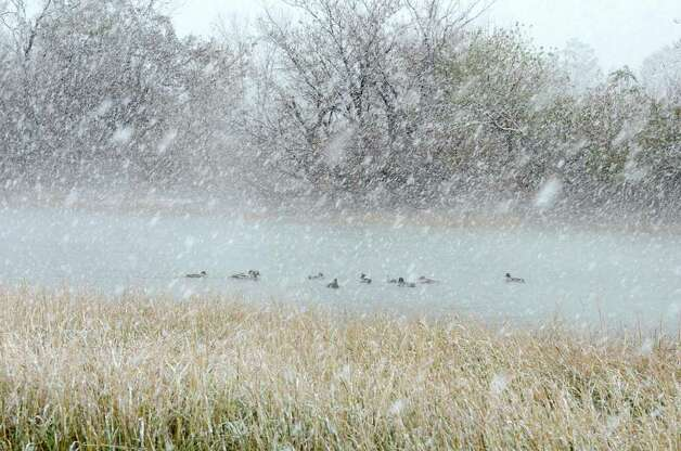 Ducks swim at Cove Island Park during a snow storm in Stamford on Saturday, Oct. 29, 2011. Photo: Amy Mortensen / Connecticut Post Freelance