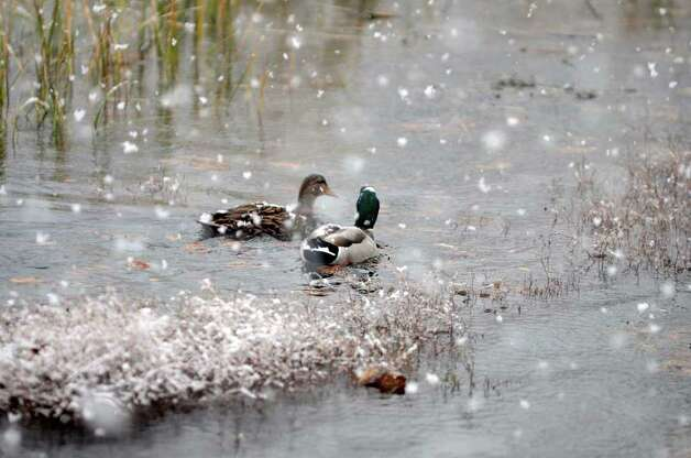A mallard and his mate take a swim as snow falls at Cove Island Park during a snow storm in Stamford on Saturday, Oct. 29, 2011. Photo: Amy Mortensen / Connecticut Post Freelance