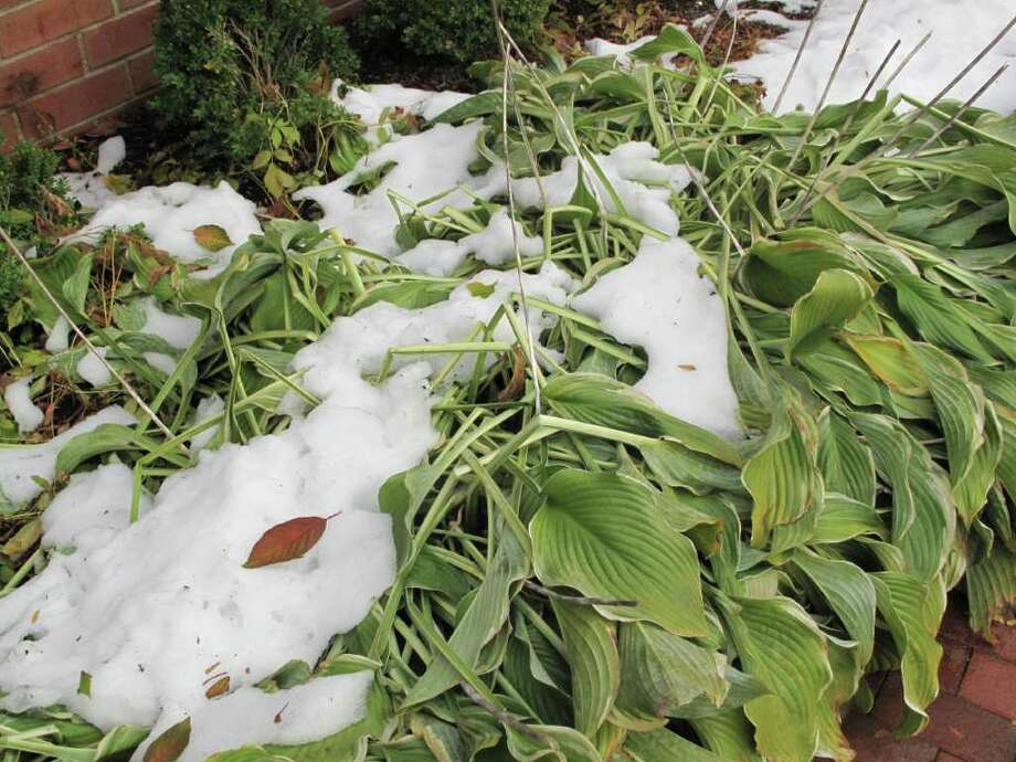 New Canaanites were treated with an unfamiliar sight all over town of snow with leaves and plants after a very rare fall snow storm this weekend. Photo: Paresh Jha