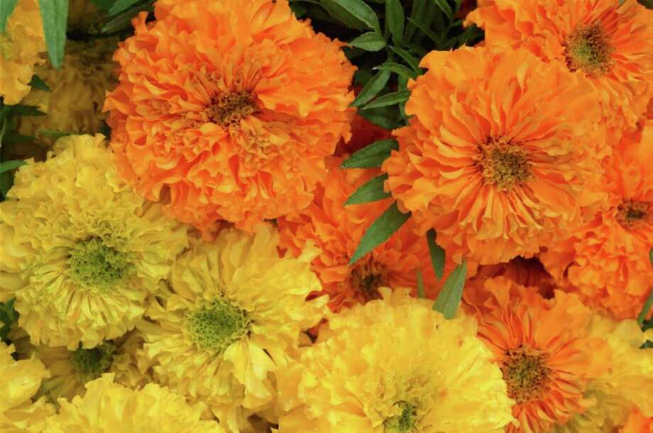 FILE PHOTO POPULAR: Flower vendors say marigold sales increase as the Day of the Dead observance nears. Photo: Ted Albracht / Freelance