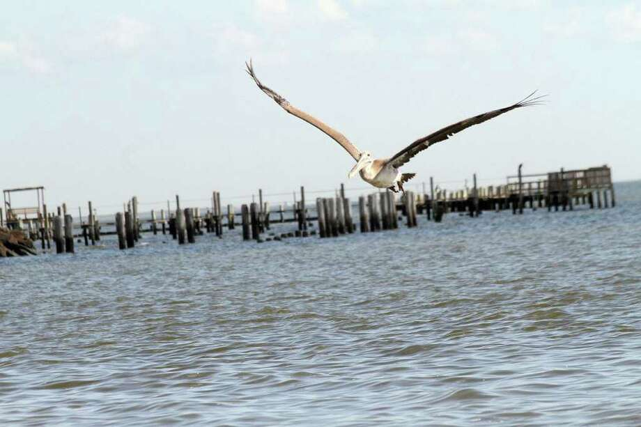 FLYING HIGH: One of the released pelicans takes its time getting orientated to his new environment near the Kemah Bridge. Photo: Pin Lim / Copyright Pin Lim.